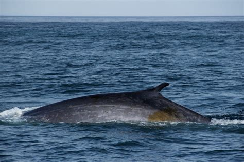BLUE WHALES, FIN WHALE AND HYBRID IN BETWEEN | Gentle