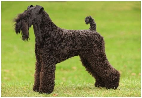 Kerry Blue Terrier - Facts, Pictures, Puppies, Breeders