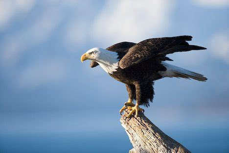 All About Animal Wildlife: Bald Eagle Cool Photos-Images