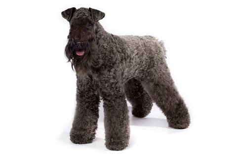 Kerry Blue Terrier Dog Breed Information